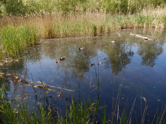 Ducks and Coots on the big pond