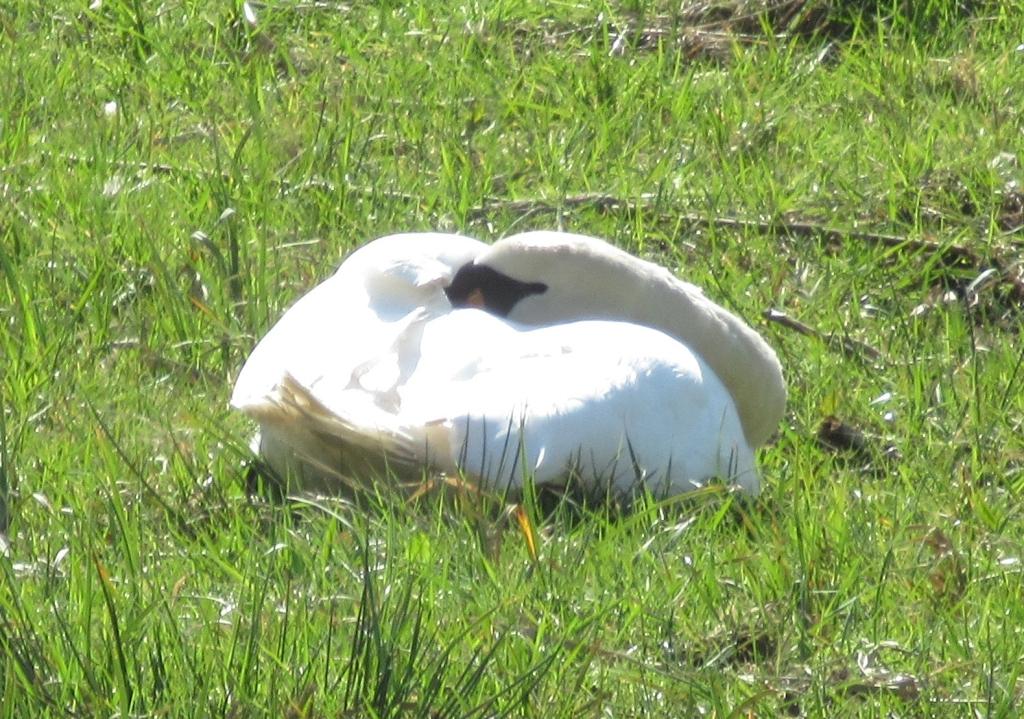 A sleeping Swan