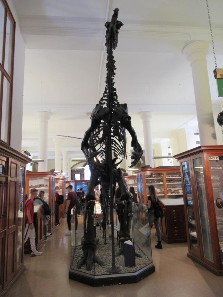 Dinosaur skeleton at the Sedgewick Museum