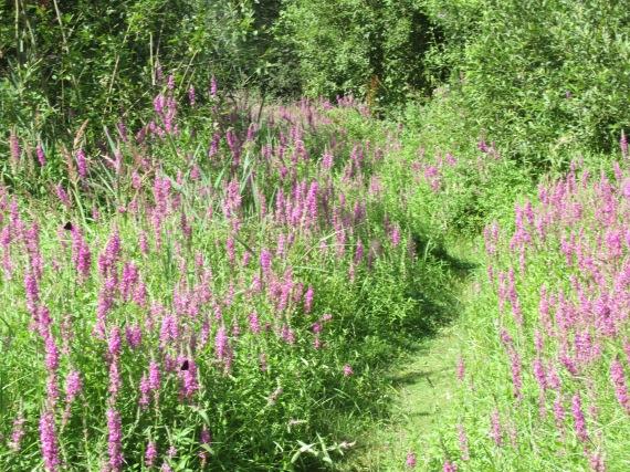 A path through Purple Loosestrife